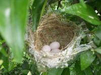 めじろの巣