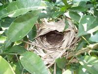 うぐいすの巣