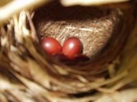 うぐいすの卵